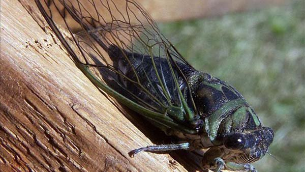 Billions of cicadas are expected to emerge along the Eastern Seaboard, some complain while others eat them. (Source: Bruce MArlin / Creative Commons)