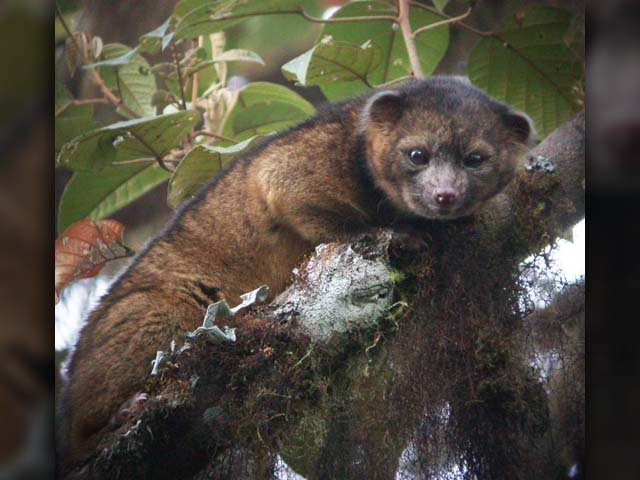 The olinguito lives in the Andes Mountains at altitudes of 5,000 to 9,000 feet. (Source: Smithsonian Institute)