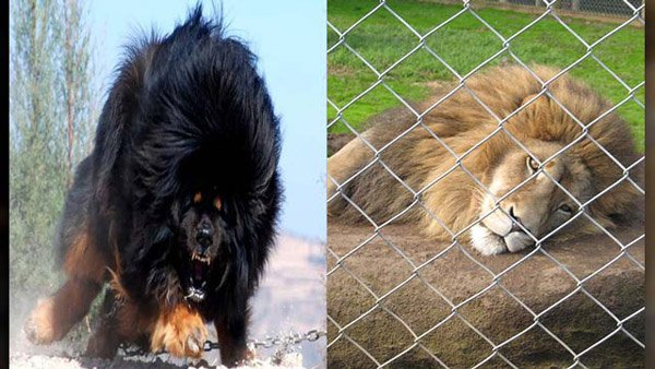 A Chinese zoo was caught 'lion' when they posed a Tibetan mastiff (not one pictured) as the king of the jungle. (Source:Flickr/Schep_B/Wikipedia Commons/Zoohistorian)
