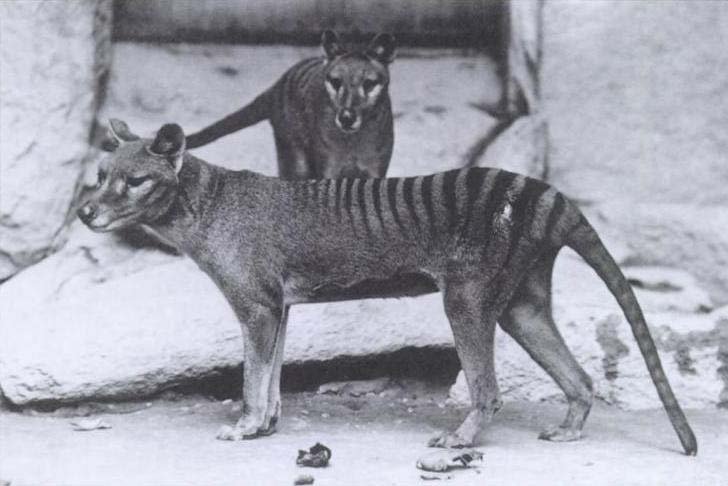 The thylacine, shown here, went extinct in 1936. (Source: Wikimedia Commons)