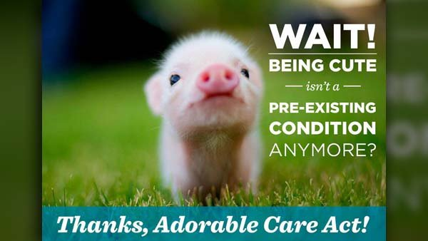 This little piggy's worse problem is its cuteness. (Source: Adorable Care Act/Twitter)