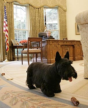 Barney, a Scottish terrier owned by President George W. Bush plays in the Oval Office. (Source: Wikimedia Commons)