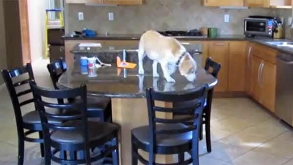 Lucy just can't wait for her owner to get home before getting her paws on some food.  (Source: Rodd Scheinerman/YouTube)