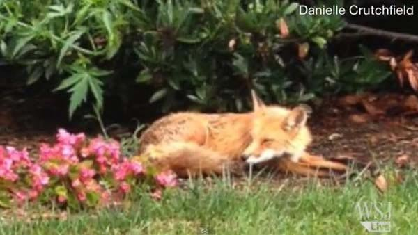 This fox made its way onto the White House grounds and has been causing all sorts of mischief. (Source: WSJDigitalNetwork/YouTube)