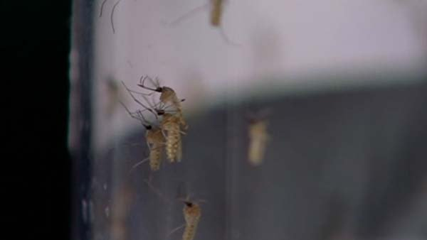 Chikungunya can cause severe joint pain. (Source: KHOU/CNN)