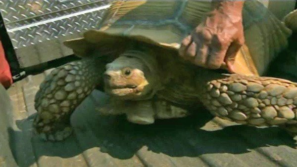 The tortoise had been left behind when its owners fled the fast-moving fire. (Source: KCRA/CNN)
