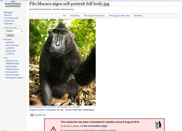A British photographer and Wikimedia could be facing a legal battle over whether he or a monkey own the rights to a photograph that's been seen across the internet. (Source: Wikimedia Commons screenshot)
