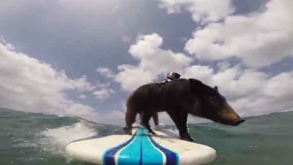 Meet Karma the Surfing Pig, taking on waves way better than most humans. (Source: GoPro/YouTube)