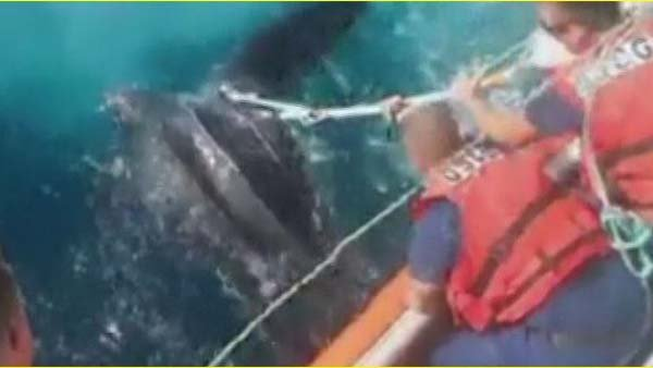 U.S. Coast Guard crew members rescued a large sea turtle that was caught in fishing lines. (Source: CNN)