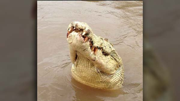 A Facebook photo of the 14.5-foot albino crocodile locals of the Northern Territory of Australia dubbed 'Michael Jackson.' (Source: Original Adelaide River Queen Jumping Crocodile Cruises Facebook page screenshot)