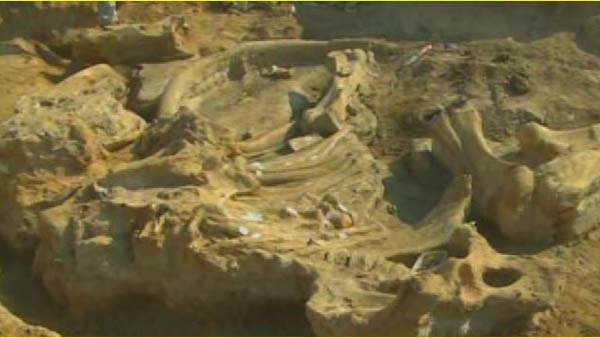 A rare, full skeleton of a mammoth was uncovered by farmer and his son in Texas. (Source: CNN)