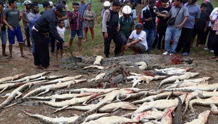 Mob slaughters 300 crocodiles after one kills a man in Indonesia