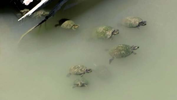 A Texas teen was injured when he attempted to blow up turtles. (Source: KTRK/CNN)