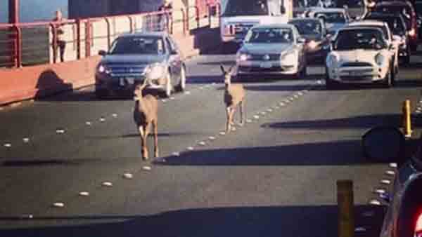 Two deer used the bridge's northbound lanes to make their rush hour commute across San Francisco Bay. (Source: Rebecca Abbey via CNN)
