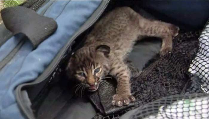 The baby bobcat was given shade and water to recover after being rescued. (Source: WINK/CNN)