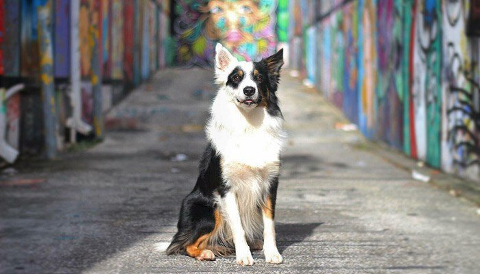 This 3-year-old border collie is full of tricks and enthusiasm. (Source: John K9)