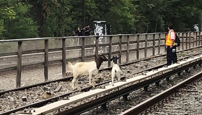 A couple four legged-critters are making a nuisance of themselves along the rails in Brooklyn. (Source: NYCT Subway/Twitter)