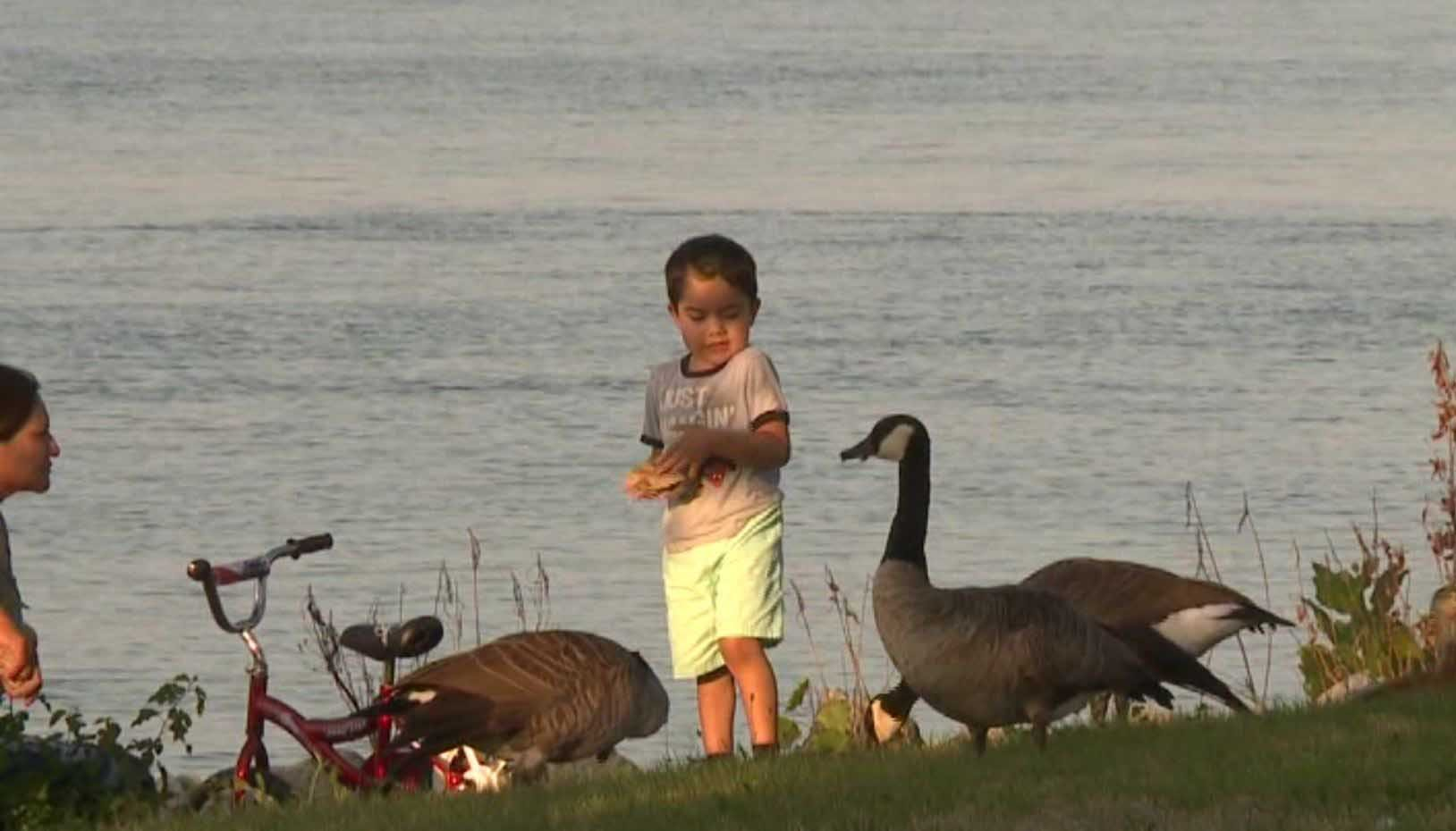 Canada geese have taken over a park in Moline, IL. (Source: WQAD via CNN)